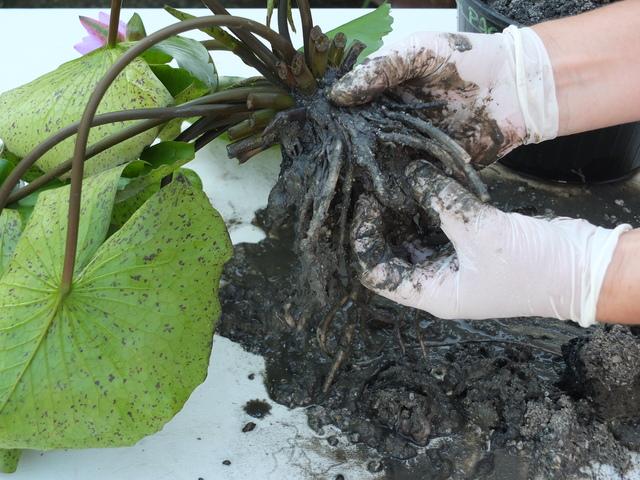 Pulizia delle radici