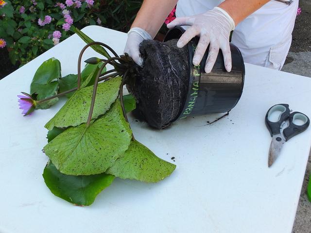 Estrazione della ninfea dal vaso