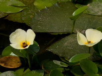 Hydrocleys nymphoides