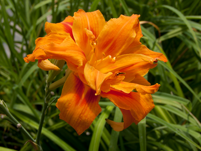 Hemerocallis Butterfly