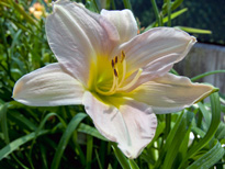 Hemerocallis Catherine Woodbery