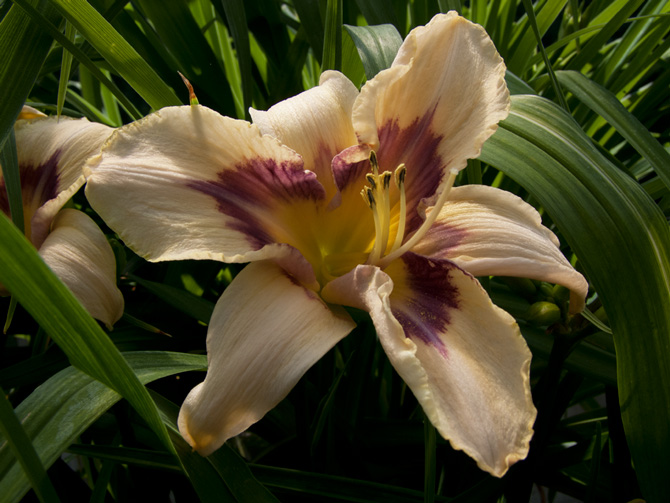Hemerocallis Isle of Dreams