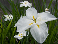 Iris ensata Summer Moon