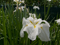 Iris ensata White Ladies