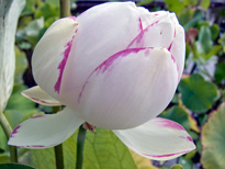 Nelumbo Alba Striata (lotus flower)