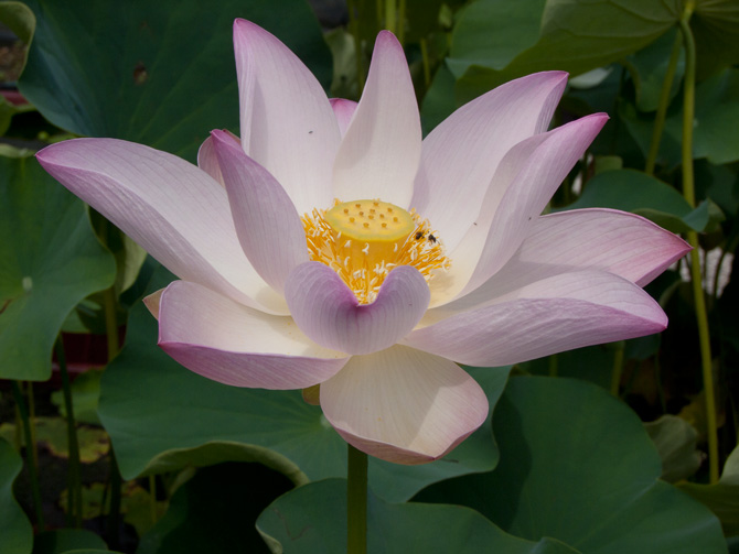 Nelumbo Carolina Queen (lotus flower)