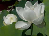 Nelumbo Goliath (lotus flower)