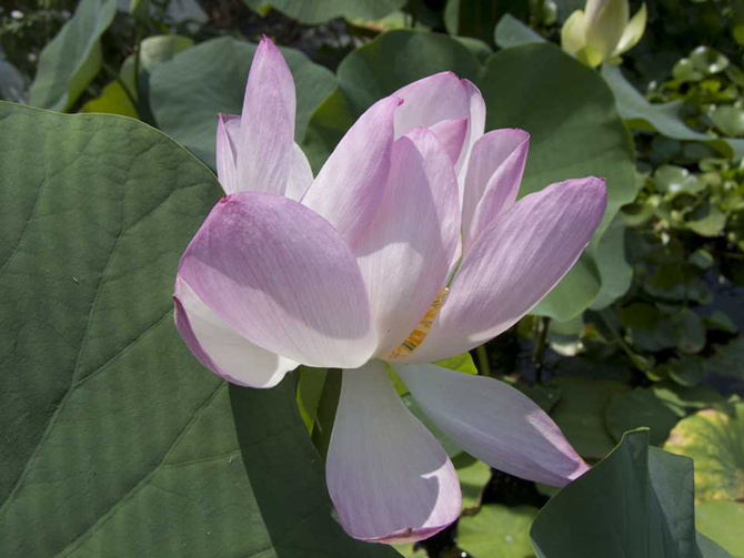 Nelumbo Kermesina (lotus flower)