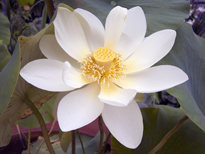 Nelumbo lutea Flavescens (lotus flower)