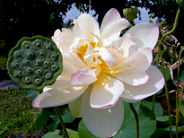 Nelumbo Mrs Perry D. Slocum (lotus flower)