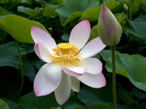 Nelumbo Nucifera (lotus flower)