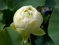 Nelumbo Sweetheart (lotus flower)