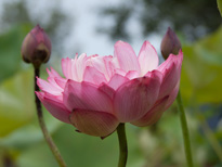 Nelumbo Night And Day (lotus flower)