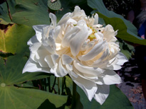 Nelumbo Shiroman (lotus flower)