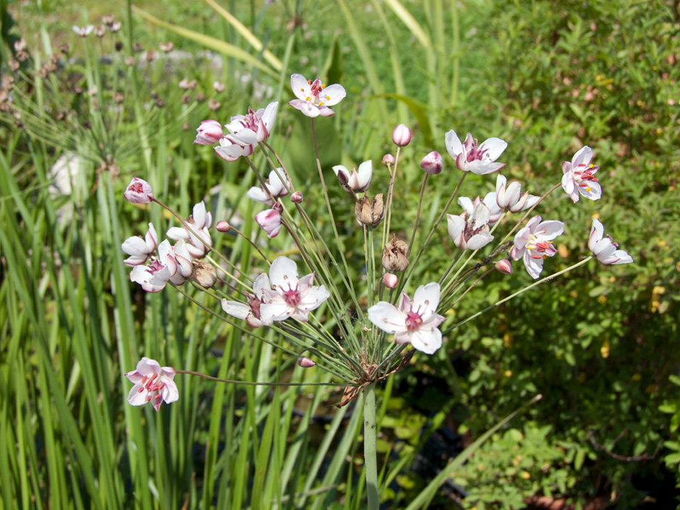 Butomus umbellatus | liliumaquae | en