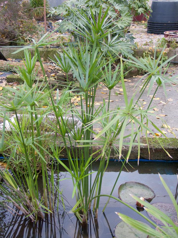 Cyperus alternifolius liliumaquae en for Acheter plante