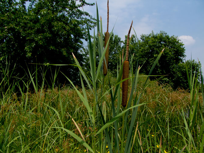 Typha latifolia