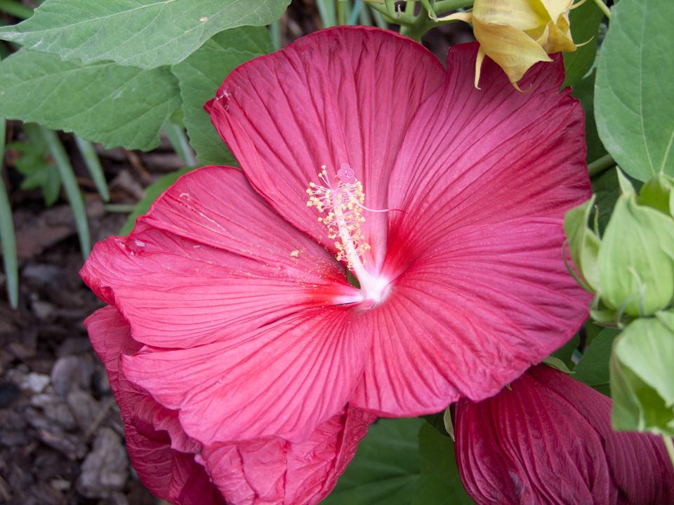 hibiscus moscheutos rosy red liliumaquae en. Black Bedroom Furniture Sets. Home Design Ideas