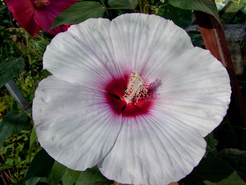 hibiscus moscheutos eye catcher liliumaquae it. Black Bedroom Furniture Sets. Home Design Ideas