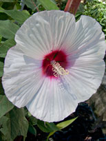 Hibiscus moscheutos 'Eye Catcher'