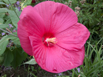 Hibiscus moscheutos 'Red Sky'