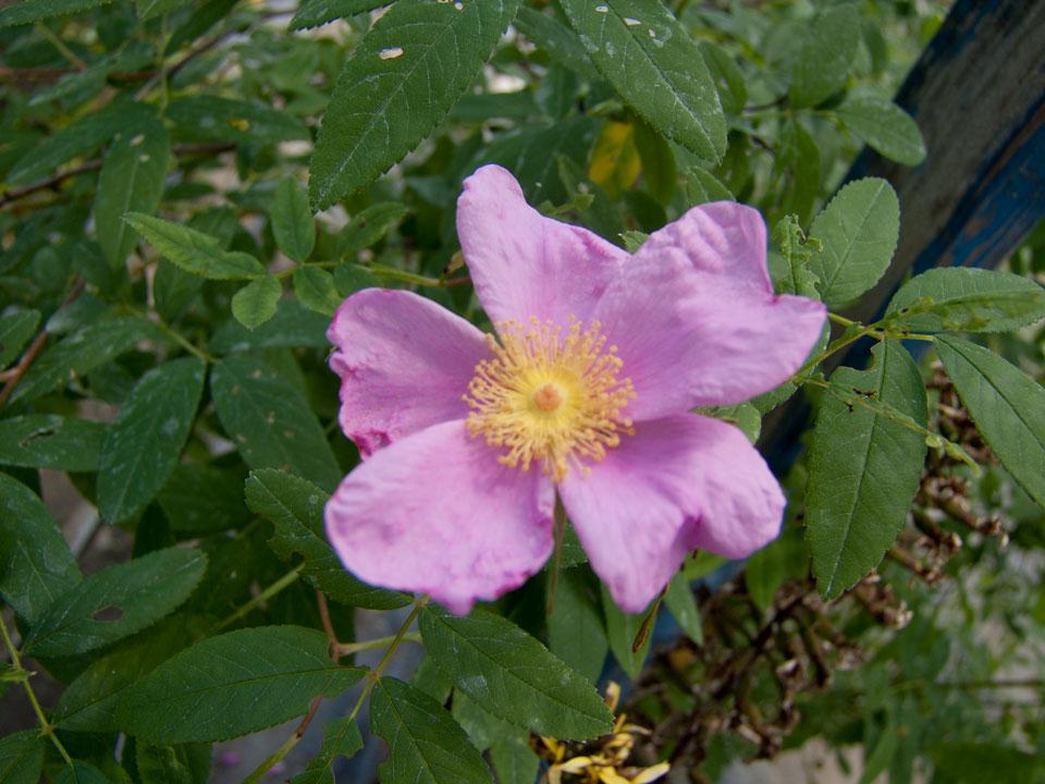 Rosa palustris   liliumaquae   en
