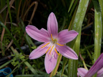Zephyranthes robusta