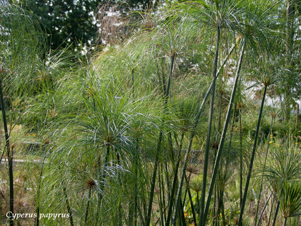 Piante Acquatiche Vendita : Vendita piante acquatiche tropicali on line