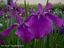 Iris ensata Laughing Lion