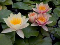 Nymphaea Paul Hariot (water lily)