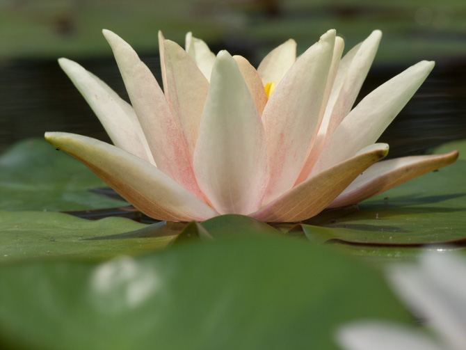 Nymphaea Sioux (water lily)