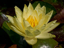 Nymphaea Wanvisa (water lily)