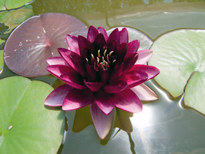 Nymphaea Almost Black (water lily)
