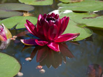 Nymphaea Black Princess (water lily)