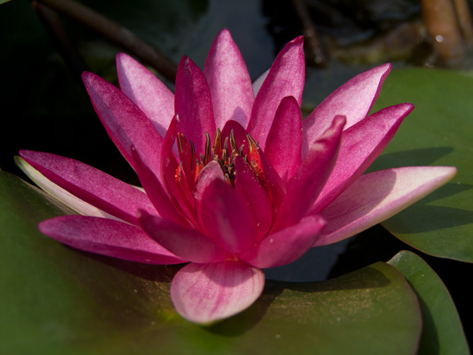 Nymphaea Ellisiana (water lily)