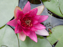 Nymphaea Froebli (water lily)