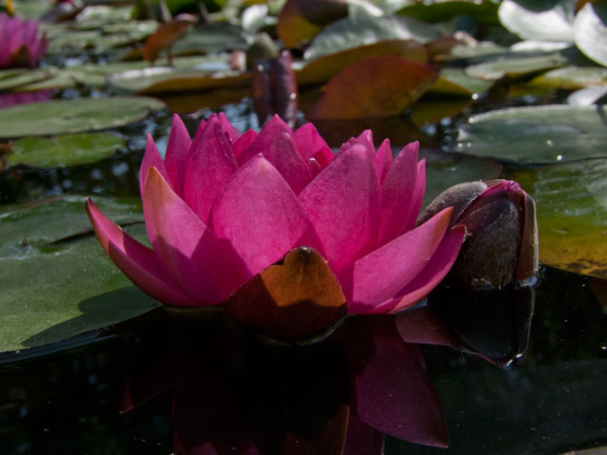 Nymphaea James Brydon (water lily)