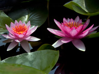 Nymphaea James Hudson (water lily)