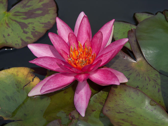 Nymphaea Luccida (water lily)