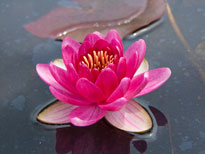 Nymphaea Perry's Baby Red (water lily)
