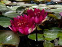 Nymphaea Red Paradise (water lily)