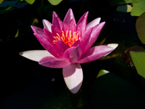 Nymphaea Rene Gerard (water lily)