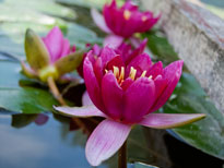 Nymphaea Rubis (water lily)