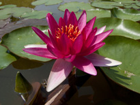 Nymphaea William Falconer (water lily)