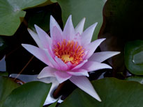 Nymphaea Amabilis (water lily)