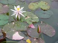 Nymphaea Arc-en-ciel (water lily)