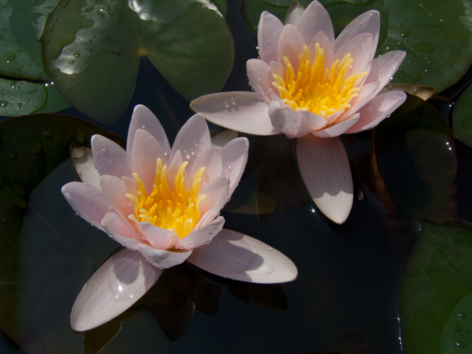 Nymphaea Berthold (water lily)