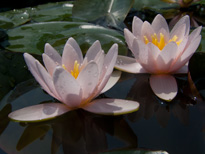Nymphaea Berthold(water lily)