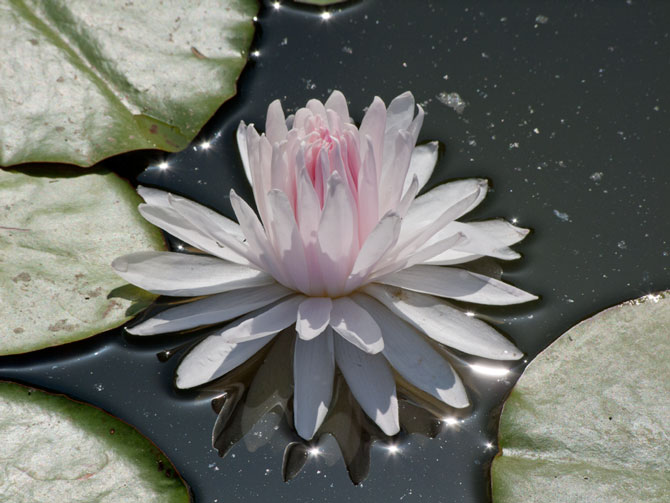 Nymphaea Gloire du Temple-sur-Lot (water lily)