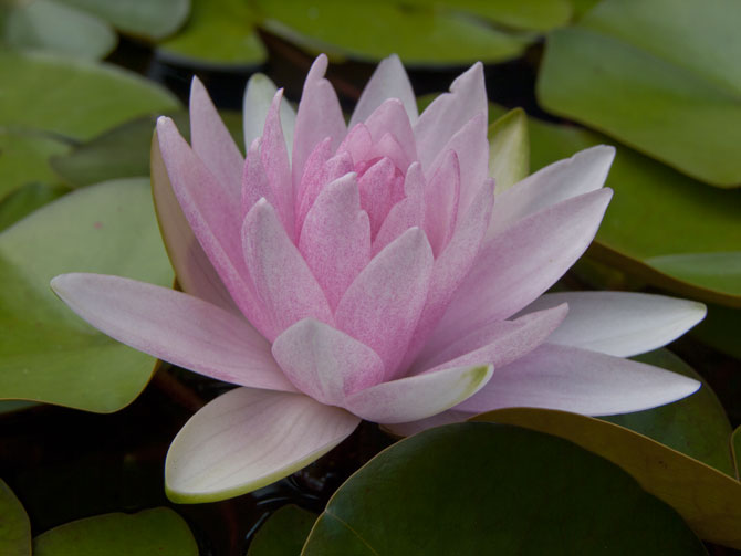 Nymphaea Hollandia (water lily)